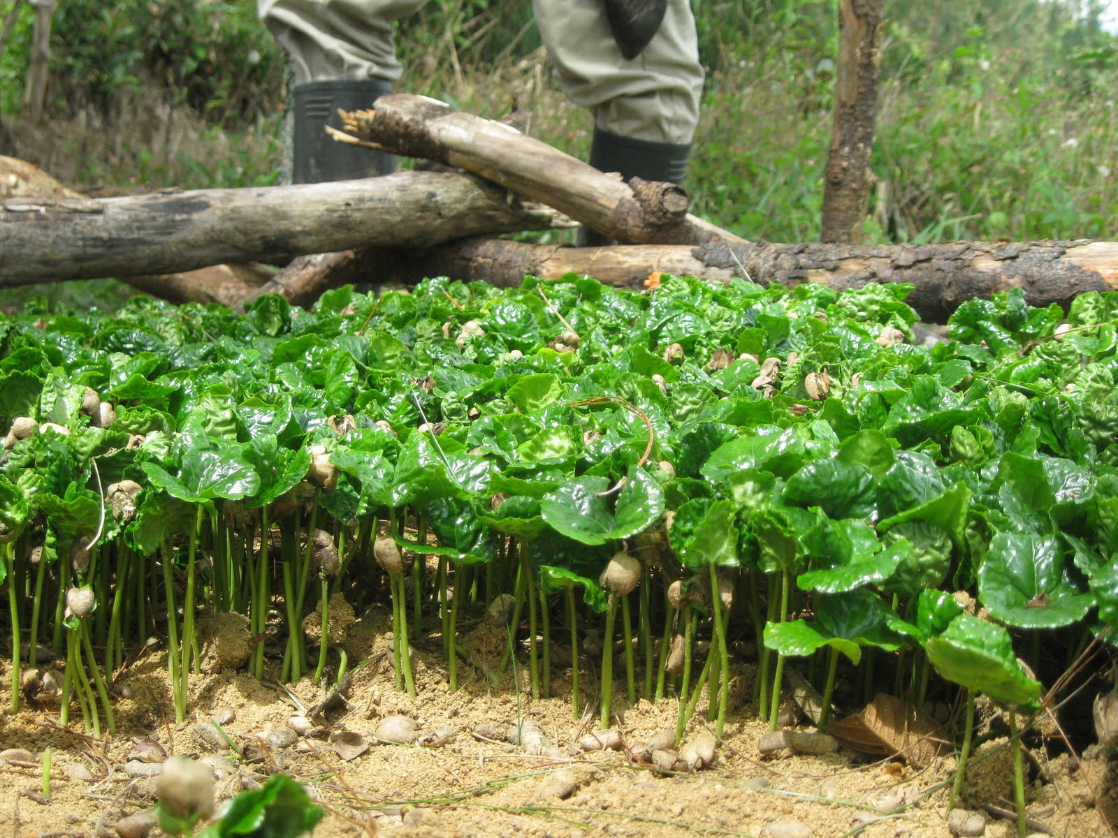 "Mendez, Caswell and Bacon book: ""Food Security and Smallholder Coffee production"""
