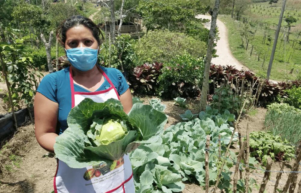 Soppexcca harvesting cabbage during pandemic coronavirus