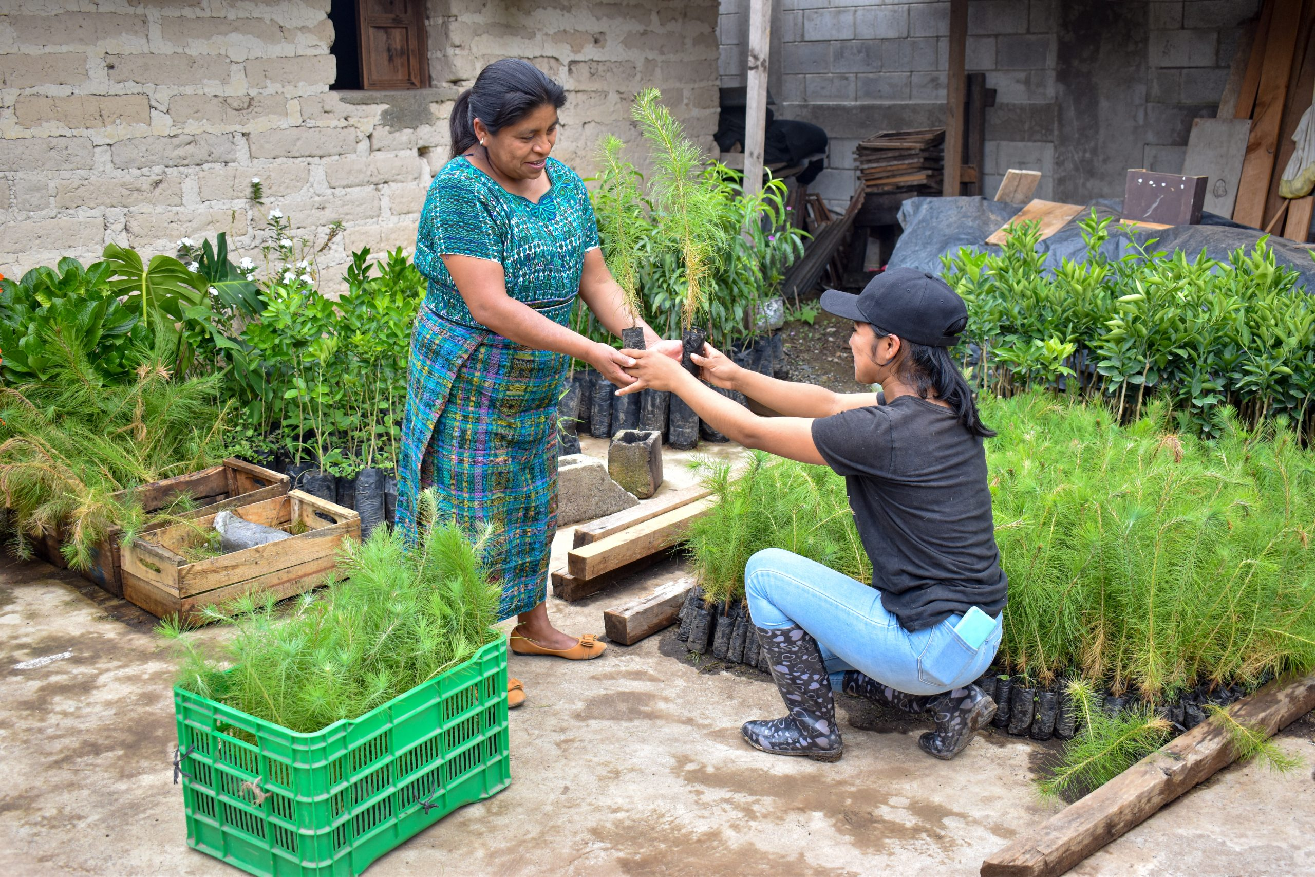 A Maya Ixil community promoter crouches next to many fruit tree saplings. She holds one and is handing it off to a member of the cooperative standing in front of her. This is happening at a tree delivery from Grow Ahead.
